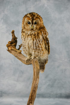 Tawny Owl by Emilie Verity
