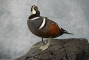 Harlequin Duck by Peter Summers