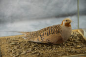 Pallas Sand Grouse by Peter Summers
