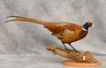 Pheasant by David Irwin