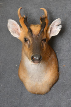 Muntjac by Jackie Waddell