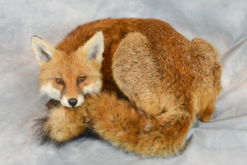 Fox by Jackie Waddell