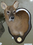 Chinese Water Deer by Dave Hollingworth 2011
