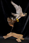 Peregrine Falcon catching Grouse by Mike Gadd