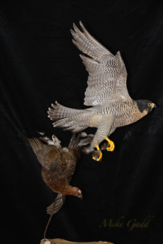 Peregrine Falcon chasing Grouse by Mike Gadd