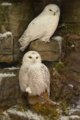 Snowy Owls by Mike Gadd