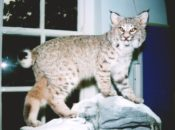 Bobcat by Dave Green 1998