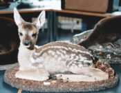 Roe Fawn by Jonathan Standing 1999