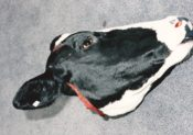 Cow Head by Emily Mayer 1999