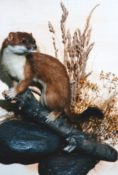 Stoat by Mike Gadd 1999