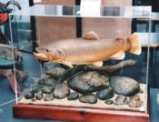 Brown Trout by Dave Vanden Bos 1999