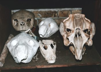 Powell Cotton Skull Collection