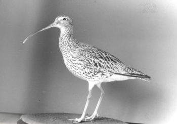 Curlew by James Dickinson