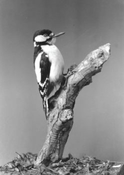 Great Spotted Woodpecker by Will Hales