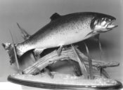 Rainbow Trout 1994