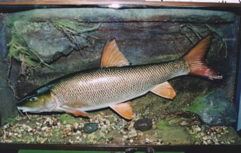 Barbel by Chris Elliott