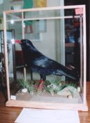 Chough by Derek Frampton 1996