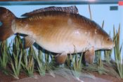 Leather Carp by Derek Frampton 1993