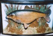 Common Carp by Derek Frampton 1993