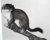 Stoat by Mike Gadd 1991