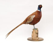Pheasant by Dave Hornbook