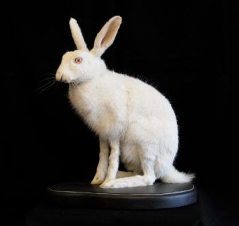 White Hare by Steve Newcombe
