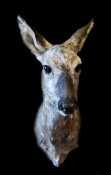 Roe by Steve Newcombe