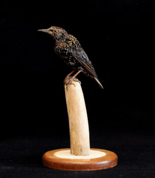 Starling by Stephen Lindley