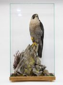 Peregrine Falcon by Peter Scott