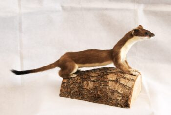 Stoat by Chris Voisey