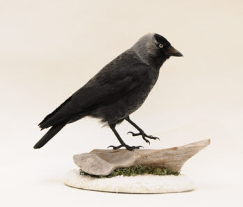 Jackdaw by Emilie Woodford
