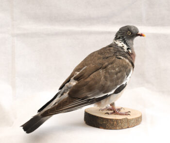 Wood Pigeon By Becky Dick