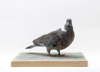 Wood Pigeon by Christopher Redman