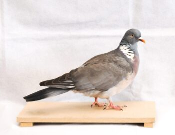 Wood Pigeon by Colin Scott