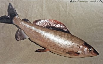 Grayling by Peter Summers 1986