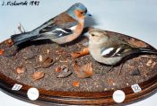 Chaffinches by Jack Fishwick