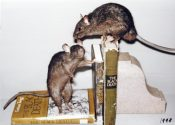 Black Rats by James Dickinson 1998