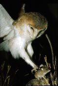 Barn Owl & Mouse by Mike Gadd 1982