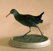 Water Rail by Pete Summers 1983