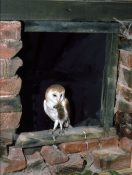 Barn Owl with Mouse by Kim McDonald 1988