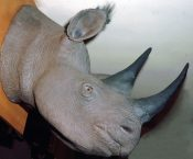 Reproduction Rhino Head by Mike Gadd 1990