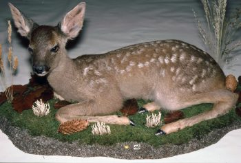 Roe Fawn by Jonathan Standing 1991