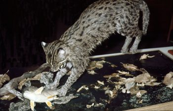 Fishing Cat by Peter Summers