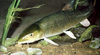 Barbel by Peter Summers