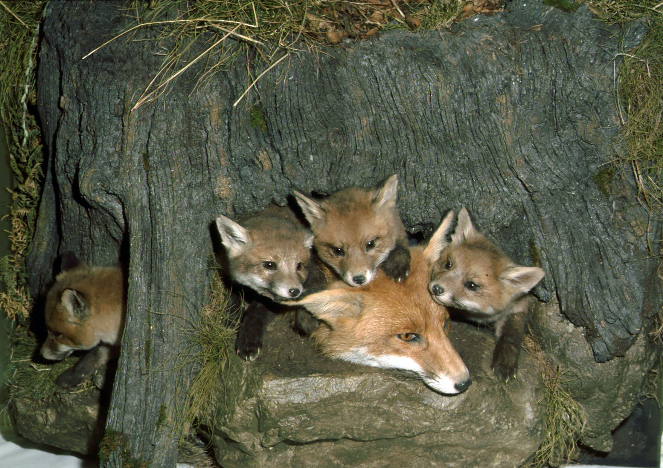 Foxes by Mike Gadd 1993