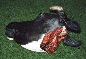 Cow Head by Emily Mayer 1998