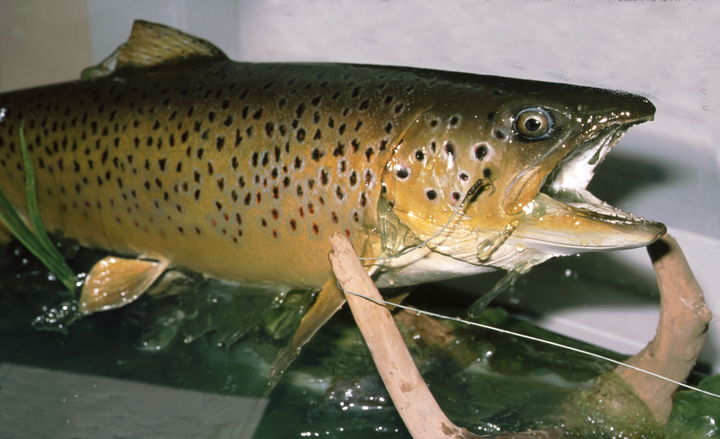 Brown Trout by Chris Elliot