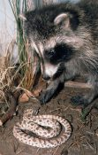 Racoon and Hognose Snake by Steve Toher 2002