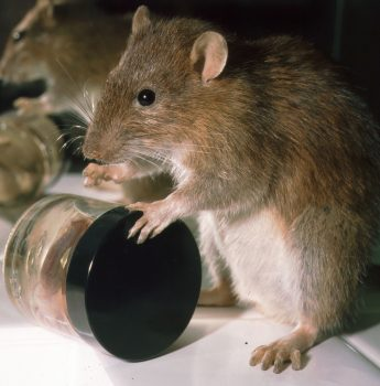 Brown Rat by Emily Mayer 2002