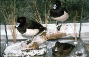 Tufted Ducks by Peter Scott